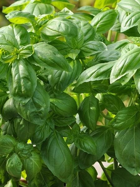 Basil 'Dolce Fresca' AAS (Ocimum basilicum)