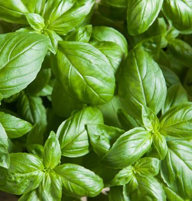 Basil 'Eleonora' (Ocimum basilicum)