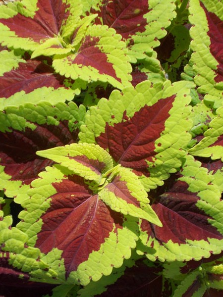 Coleus 'Emotions Inspired', Tall