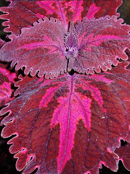 Coleus 'Flamingo', Tall