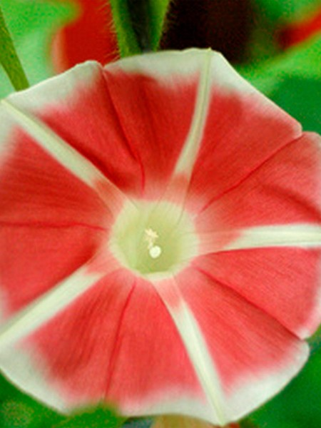 Ipomoea nil 'Rose Red'