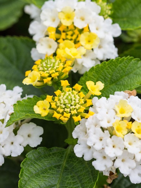 Lantana 'Little Lucky Lemon Crème'