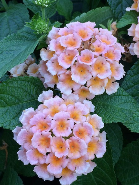 Lantana 'Little Lucky Peach Glow'