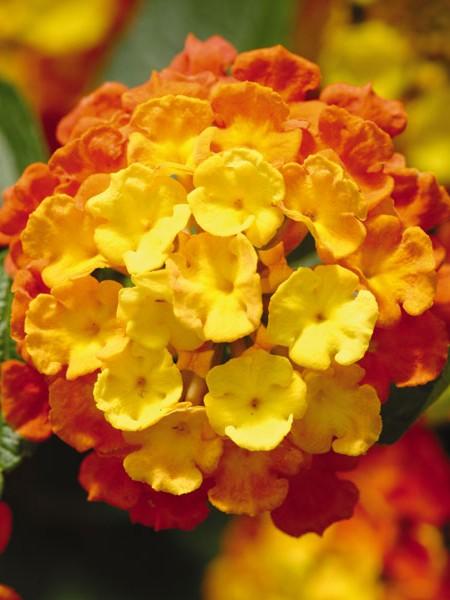 Lantana 'Little Lucky Orange'