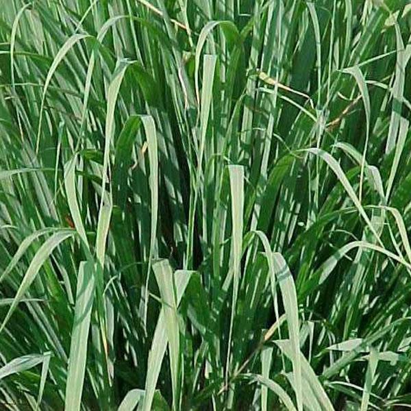 Lemon Grass (Cymbopogon citratus)