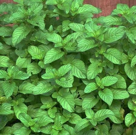 Mint 'Strawberry' (Mentha species)