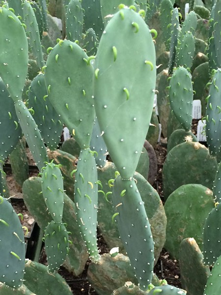 Opuntia ellisiana 'Thornless Prickly Pear'