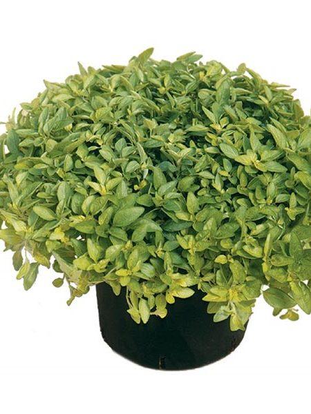 Oregano 'Aureum Gold' (Origanum vulgare)