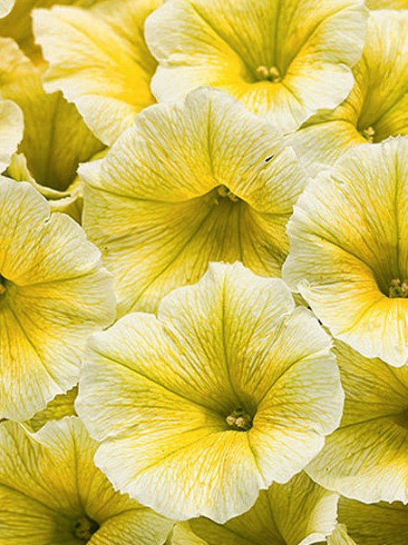 Petunia 'Supertunia Limoncello'