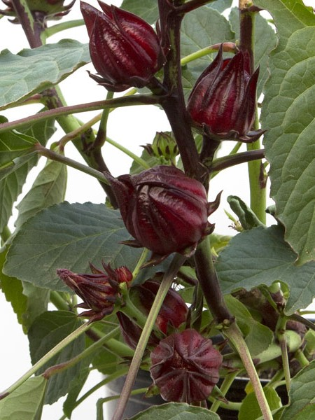 Hibiscus sabdariffa 'Jamaican' (roselle)