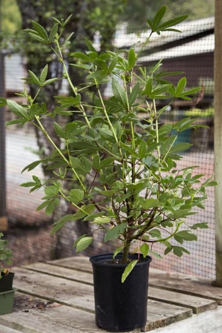 Hibiscus sabdariffa 'Thai Red' (roselle)