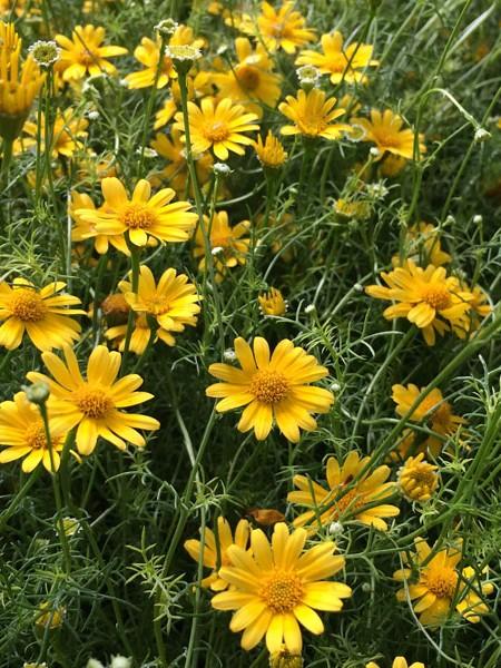 THYMOPHYLLA tenuiloba 'Golden Fleece' (Dahlberg daisy)