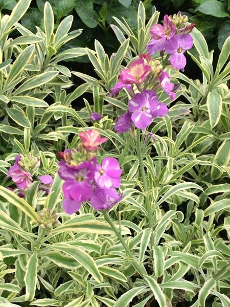 Erysimum linifolium variegatum (wallflower)