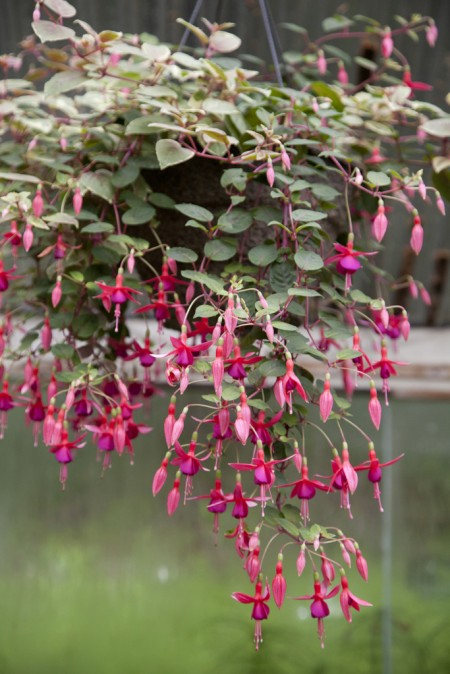 Fuchsia Baskets
