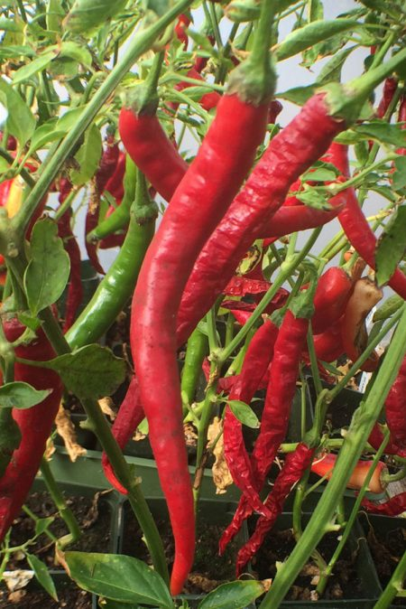 Pepper (Hot) 'Zebra Color Witch Stick'
