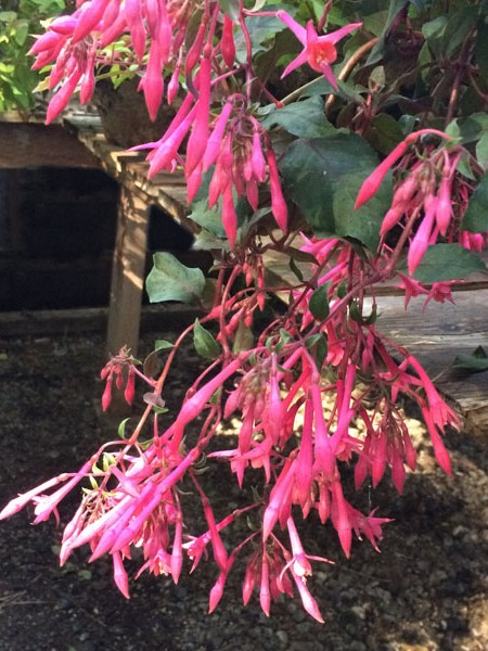 Trailing fuchsia 'Eruption'