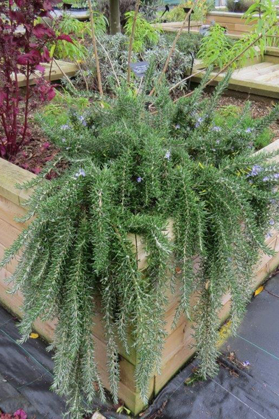 Rosemary Trailing 'Foxtail' (Rosmarinus officinalis)