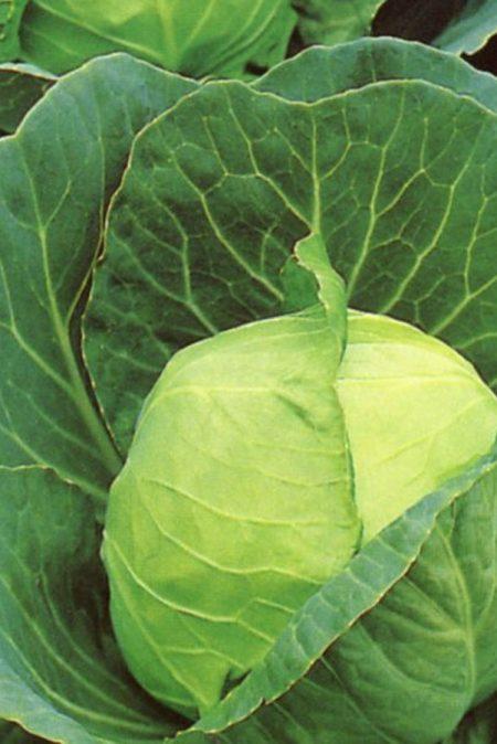 Cabbage 'Golden Acre'