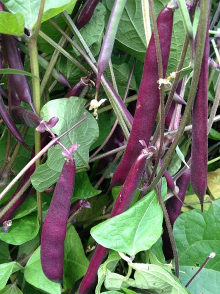 Heirloom Bean 'Blooming Prairie' Fresh/Dry Shell Bean