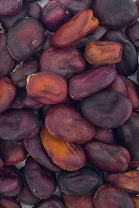 Heirloom Bean 'Frog Island Nation' Fava Bean