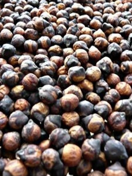 Heirloom Bean 'Hannan Pop Bean' Garbanzo Bean