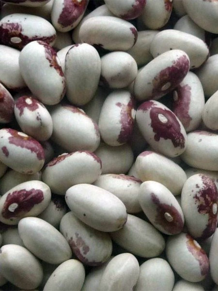 Heirloom Bean 'Rockwell' Dry Bush Bean
