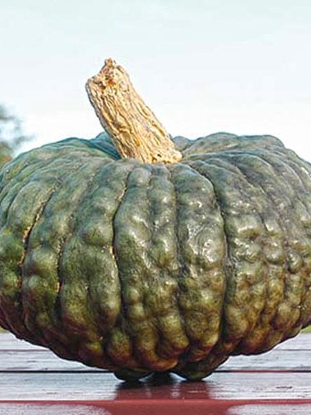Heirloom Squash 'Marina di Chioggia' Blue Winter Squash