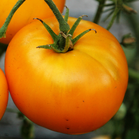 Heirloom Tomato 'Azoychka'