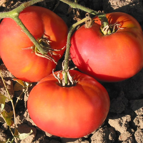 Heirloom Tomato 'Cosmonaut Volcov'