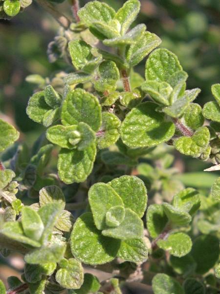 Marjoram 'Zaatar' (Origanum syriaca)
