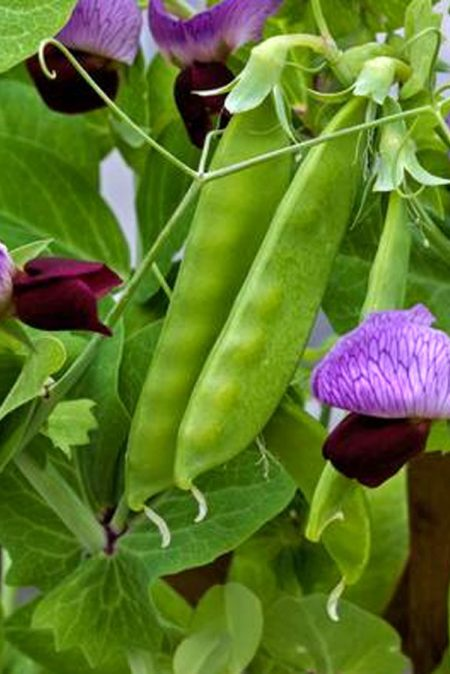 Pea 'Little Purple' Snow Pea