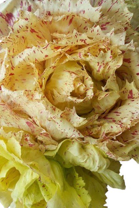 Radicchio 'Bel Fiore'