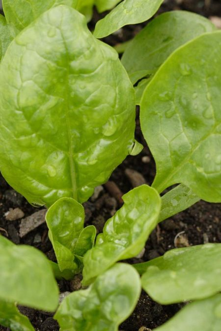 Spinach 'Corvair'