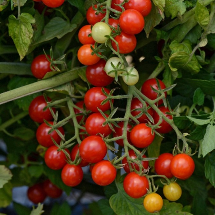Tomato 'Candyland Red' currant tomato