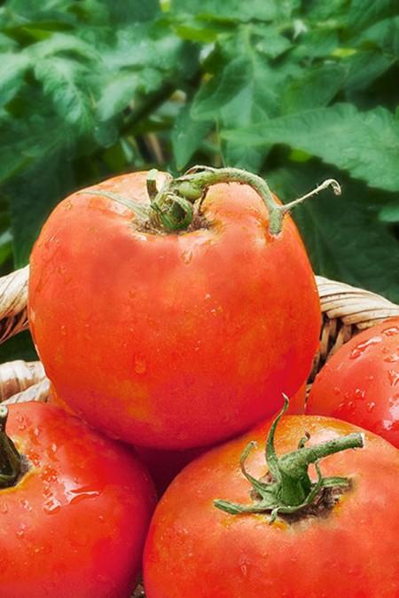 Tomato 'Super Fantastic'