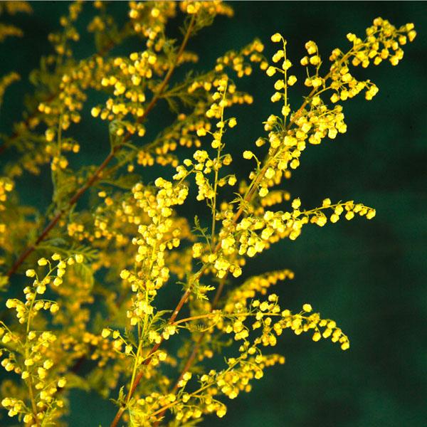 Artemisia annua 'Sweet Annie'