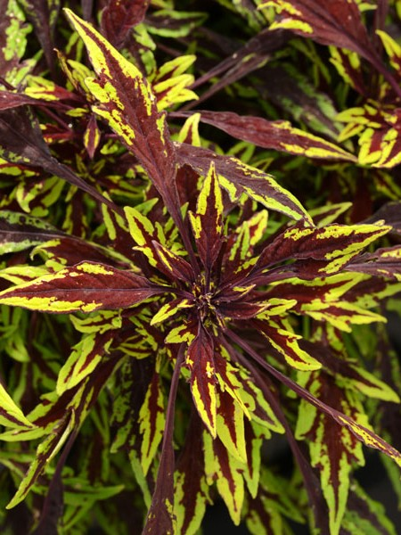 Coleus 'FlameThrower™ Chipotle', Tall