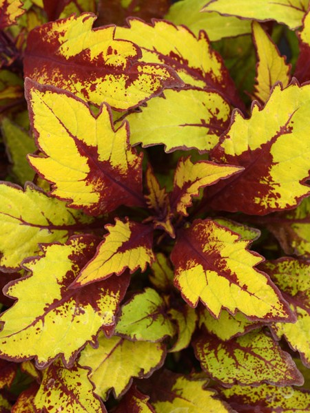 Coleus 'FlameThrower™ Spiced Curry', Tall
