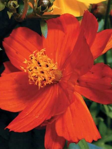 Cosmos sulphureus 'Cosmic Red'