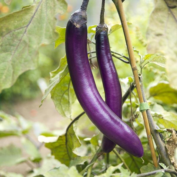 Eggplant 'Feng Yuan Purple'