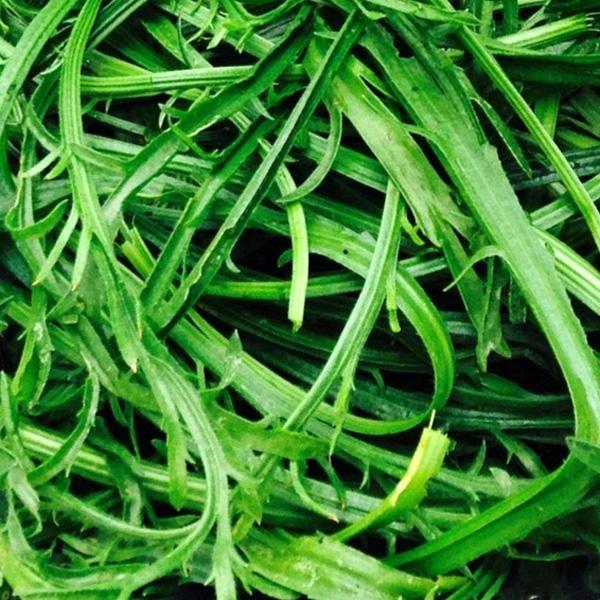 Buckshorn plantain (plantago coronopus)