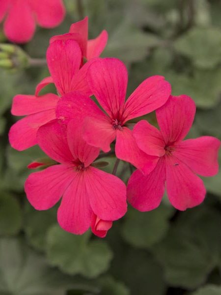 Interspecific Geranium 'Caliente Hot Coral'