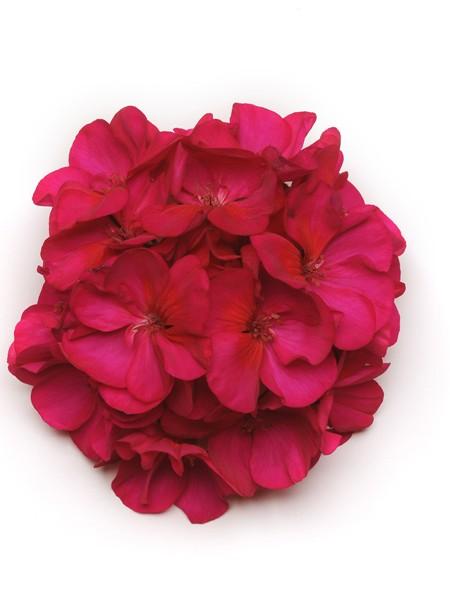 Geranium 'Presto Violet' zonal