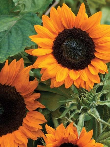 Helianthus annuus 'Copper Queen' Sunflower