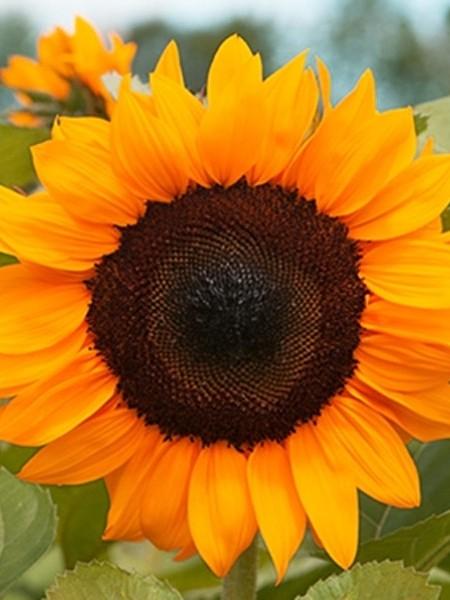 Helianthus hybridus F1 'ProCut Orange' Sunflower