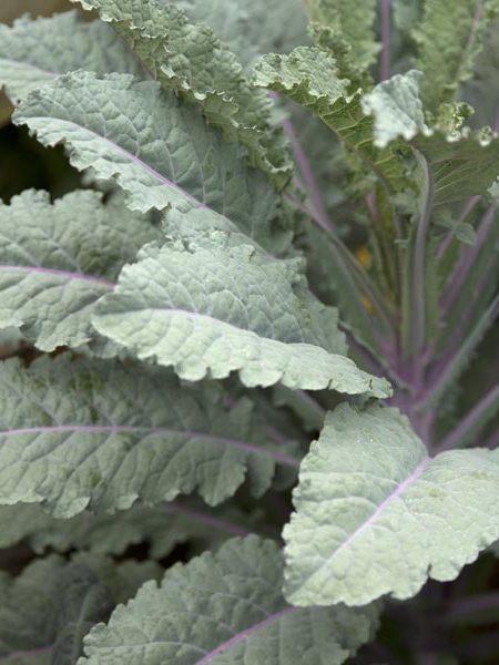 Kale 'Dazzling Blue'