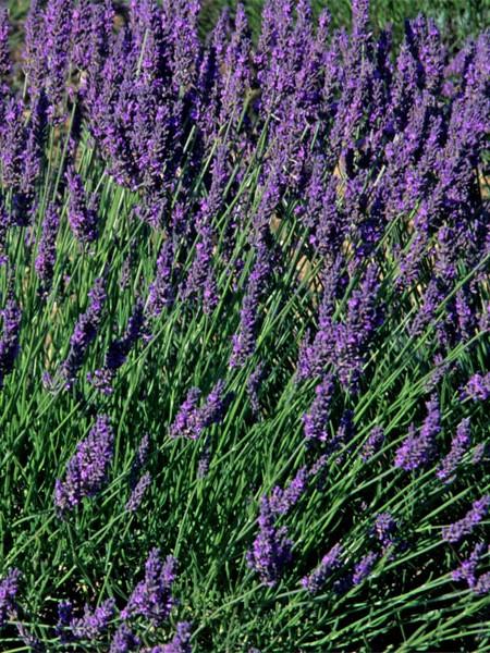 Lavender 'Vera' (lavandula angustifolia)