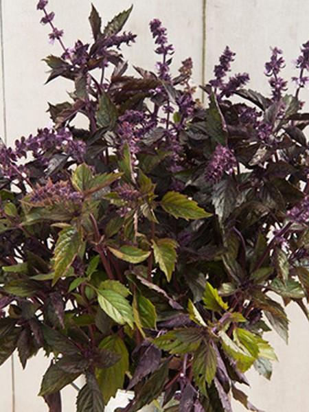Ocimum basilicum 'Aromatto'