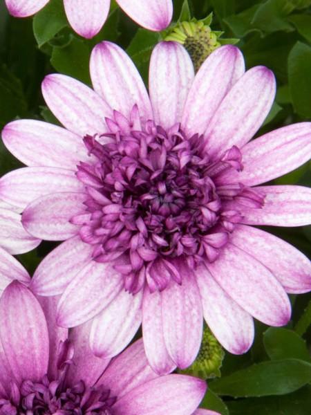 Osteospermum '4D Dark Violet & White'