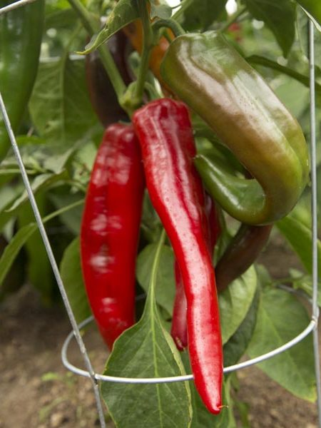 Pepper (Hot) 'Anaheim' Grafted Mighty Veggie